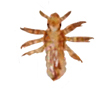 Nymph Form